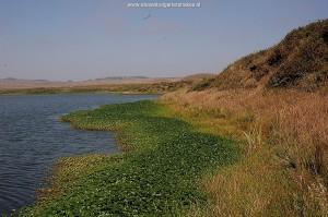 Lagune in Marin County, Californië. Biotoop van T.a.atratus x hydrophilus en T.elegans terrestris.