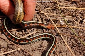 T.s.infernalis, vrouw van 46 cm. Moet gaan vervellen, volgegeten. Marin County, Californië.