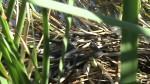 Mating behavior of the Chapala Mexican Garter Snake