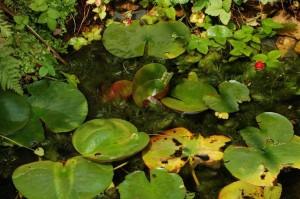 Overzicht van de vijver; ontdek de Nerodia sipedon insularum die zijn kopje boven het wateroppervlak uitsteekt.