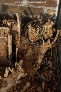 18 maart 2010 - 9.30 uur: tweede pickeringii man kruipt tevoorschijn.