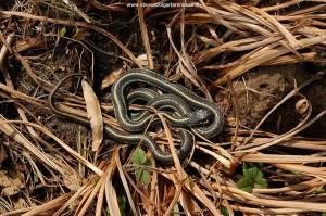 18 maart 2010 - 12.10 uur: donkere mannetje van pickeringii zont op organisch materiaal.