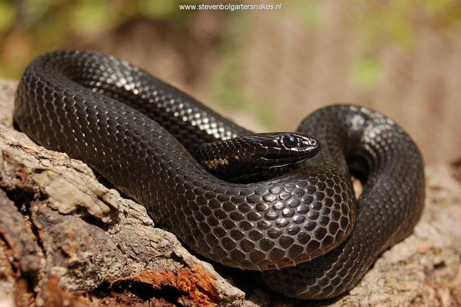 T.m.canescens (volwassen melanistische man van 61,5 cm TL) van het meer van Chapala.
