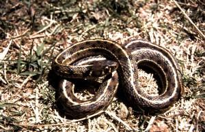 T.m.marcianus (volwassen vrouw) in het wild in april in de Davis Mountains