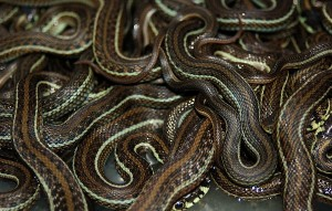 Thamnophis eques obscurus (De achtergrond foto...)