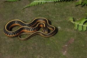 Baby slang van 2 maanden oud afkomstig uit de populatie uit de heuvels van San Mateo County; op de zijstreep zie je de eerste roodtekening verschijnen.