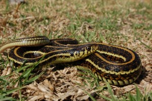 Thamnophis eques eques, volwassen vrouw uit Toluca, Mexico