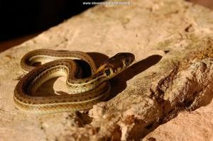 Pasgeboren juveniel van Thamnophis eques scotti