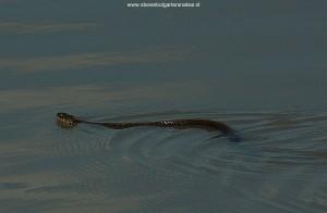 Volwassen exemplaar van Thamnophis eques scotti zwemmend in het meer in november 2007, Jalisco, Mexico