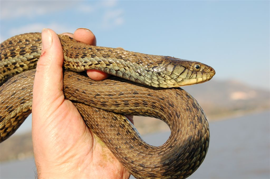 Thamnophis eques scottii; Lago Magdalena, Jalisco, Mexico