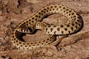 Thamnophis marcianus marcianus, Davis Mountains, West-Texas, USA