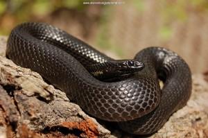 Thamnophis melanogaster canescens, melanistische man uit het meer van Chapala, Jalisco, Mexico.