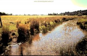 Habitat T.s.concinnus; Moeras in Willamette Valley (Oregon) grenzend aan de boomkwekerij.