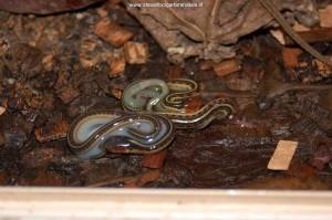 Pasgeboren babies (F2) uit Sonoma County nog in het eivlies.