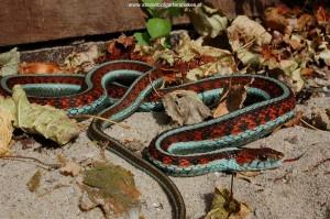 Thamnophis Sirtalis Infernalis, nakweekvrouw van 90 cm uit Sonoma County.