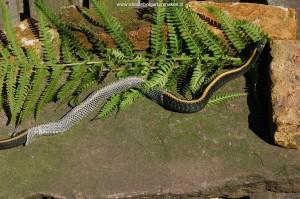 Volwassen T.a.atratus man (Nakweek; Taa 101) van 5 jaar oud tijdens de vervelling (71 cm totale lengte)