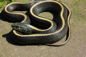 Volwassen T.a.atratus vrouw (Nakweek; Taa 241) van 2 jaar oud (65 cm totale lengte).