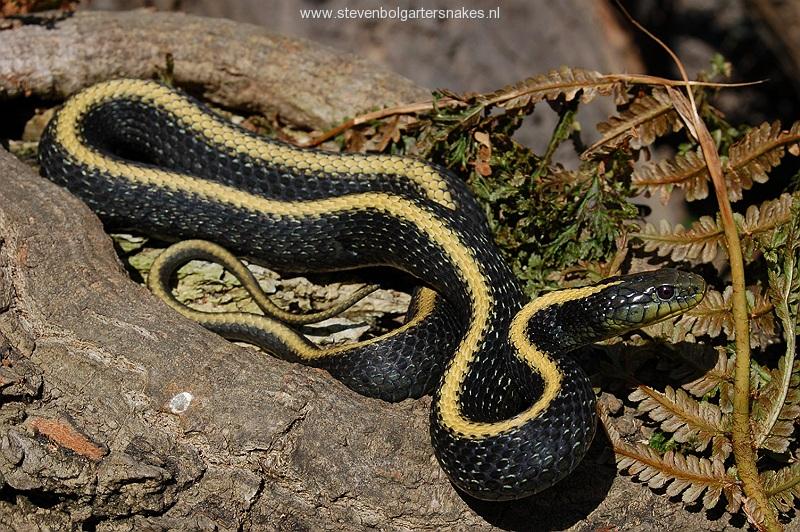 T.a.atratus, volwassen vrouw van ongeveer 80 cm, San Mateo County, Ca.