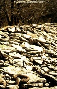 N.s.insularum; volwassen vrouw van 106 cm zonnende op de kalkstenen rotsen op 7 mei 2005.