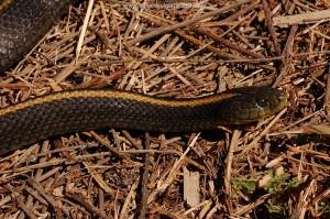Grote zwangere vrouw T.a.atratus van 85 cm, fraaie oranje-gele rugstreep, San Mateo County, Ca.