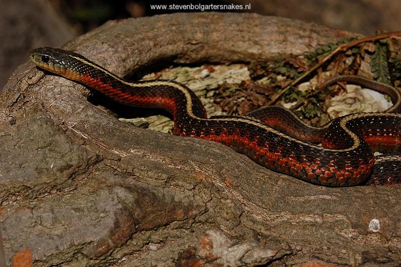 T.elegans terrestris uit San Mateo County, Ca.