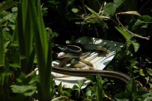 T.s.pickeringii man aan het eten op 7 mei 2013