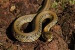 pasgeboren Thamnophis eques scotti, enkele uren oud. Met een afwijkende tekening