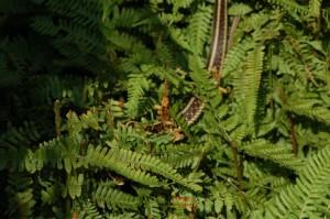 T.s.pickeringii x ordinoides hybride vrouw zonnend in de vroege zon met een volle maag op 25 juli.