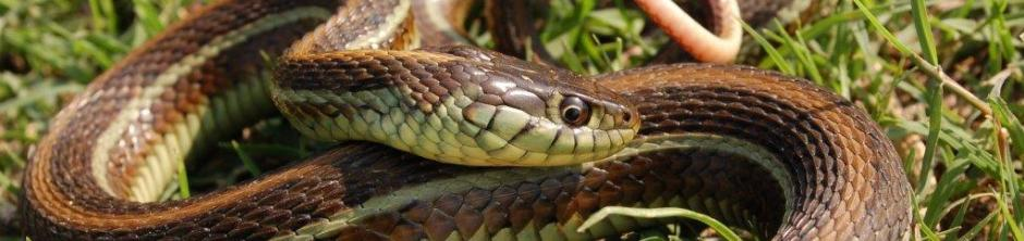 Thamnophis eques diluvialis (04)