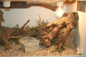 Example of a terrarium set up (here with T.s.infernalis)