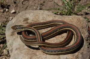 T.p.rubrilineatus; volwasen vrouw in Real County (Maart 2012)