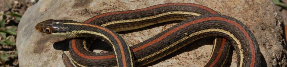 Thamnophis proximus rubrilineatus, de Roodgestreepte Lintslang (Rossman, 1963)