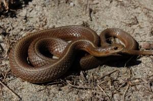 T.ordinoides (volwassen man; variant met 1 rugstreep en geen enkele tekening)in het wild in de kustduinen nabij Vancouver, Canada