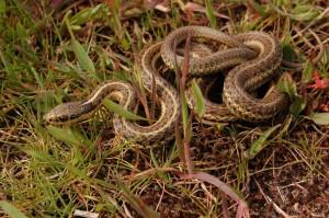T.ordinoides (volwassen man; variant met 3 strepen) in het wild in de kustduinen nabij Vancouver, Canada