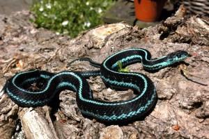 Eén van mijn volwassen mannen van T.s.pickeringii (blauwe variant)