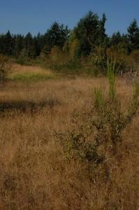 Habitat van T.s.pickeringii (blauwe variant) in Washington (midden van september)