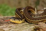 Thamnophis eques ssp