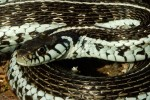 Thamnophis eques virgatenuis