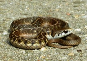 Young female (2 years old) Thamnophis conanti