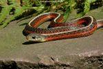 Thamnophis elegans terrestris (rode vorm)