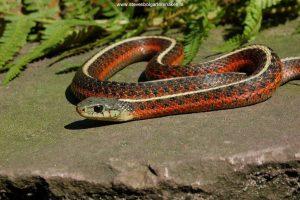Thamnophis elegans terrestris