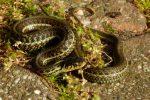 Thamnophis eques patzcuaroensis nakweek