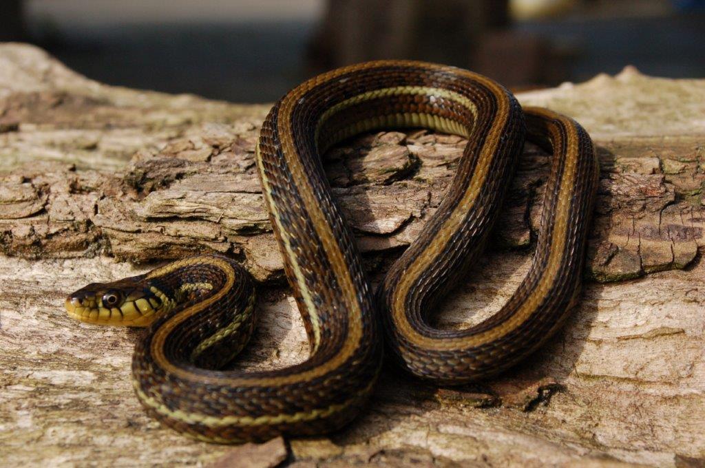 Thamnophis eques patzcuaroensis wildvang; volwassen man