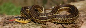 Thamnophis eques patzcuaroensis wildvang; volwassen vrouw