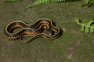 Thamnophis elegans terretris (red morph)