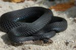 Thamnophis sirtalis sirtalis (normal & melanistic)