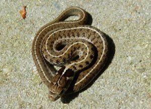 Pasgeboren nakweek juvenile van T. scaliger