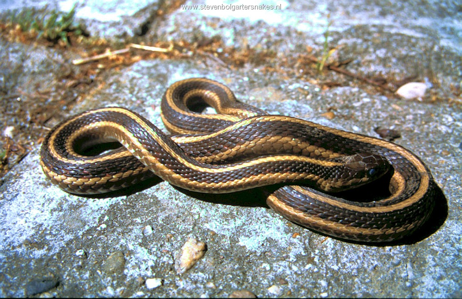 Thamnophis sirtalis parietalis from Berthoud, Colorado. Female of 74 cm.