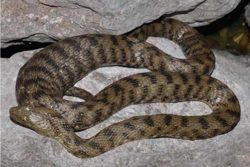 Fig. 13. Dobbelsteenslang (Natrix tessellata), Gardameer, Italië. Deze slang heeft duidelijk nog niet zolang geleden gegeten. (Foto Paul Storm, 2016).