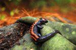 Bell's False Brook Salamander in Michoacán (vallei 2)